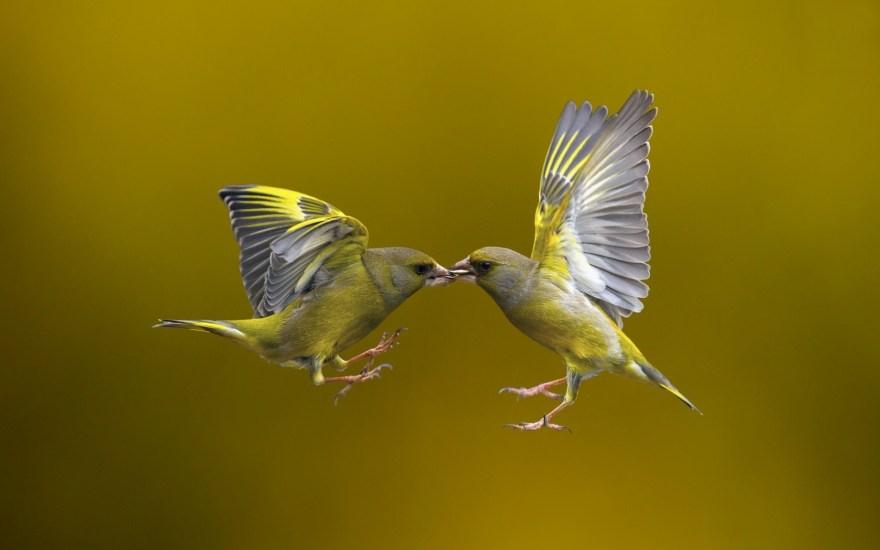 birds-yellow-backgronud-photo-nature-flying-hd-wallpaper-jpg