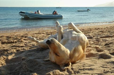 3019205-relaxed-sleeping-dog-on-the-beach-sand