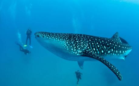 swimming-with-whale-sharks-in-belize-chaa-creek